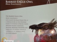 Also called the Malay Eagle Owl, it is found in the Southeast Asia.