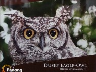 Dusky Eagle Owl - the largest of the owl family.